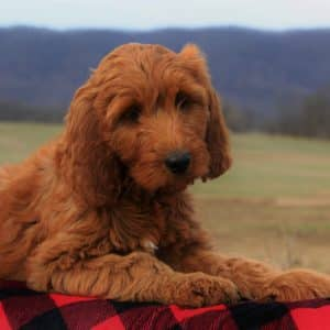 Irish Doodle Puppies For Sale 2