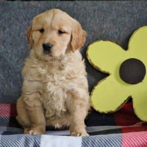 Golden Retriever Puppies For Sale 2