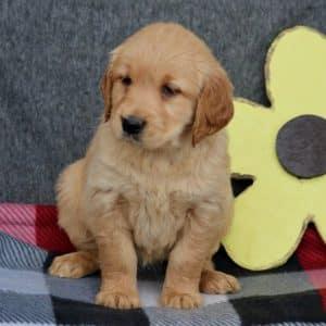 Golden Retriever Puppies For Sale 6