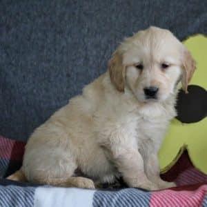 Golden Retriever Puppies For Sale 7