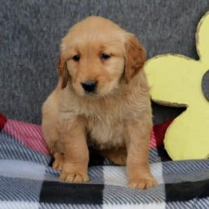 Golden Retriever Puppies For Sale 8