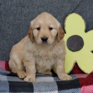 Golden Retriever Puppies For Sale 1