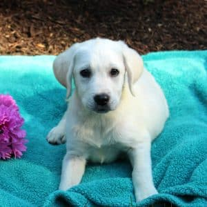 White Labrador Puppies For Sale 1