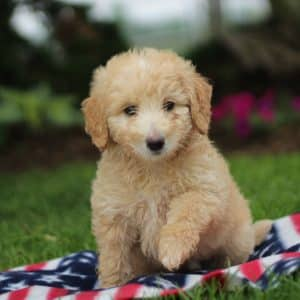 Bernedoodle Puppies For Sale 4