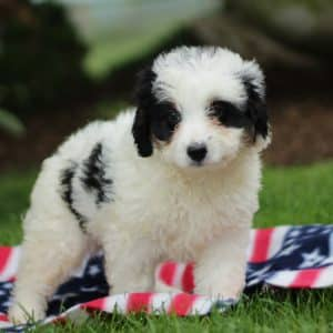 Bernedoodle Puppies For Sale 7