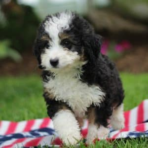 Bernedoodle Puppies For Sale 5