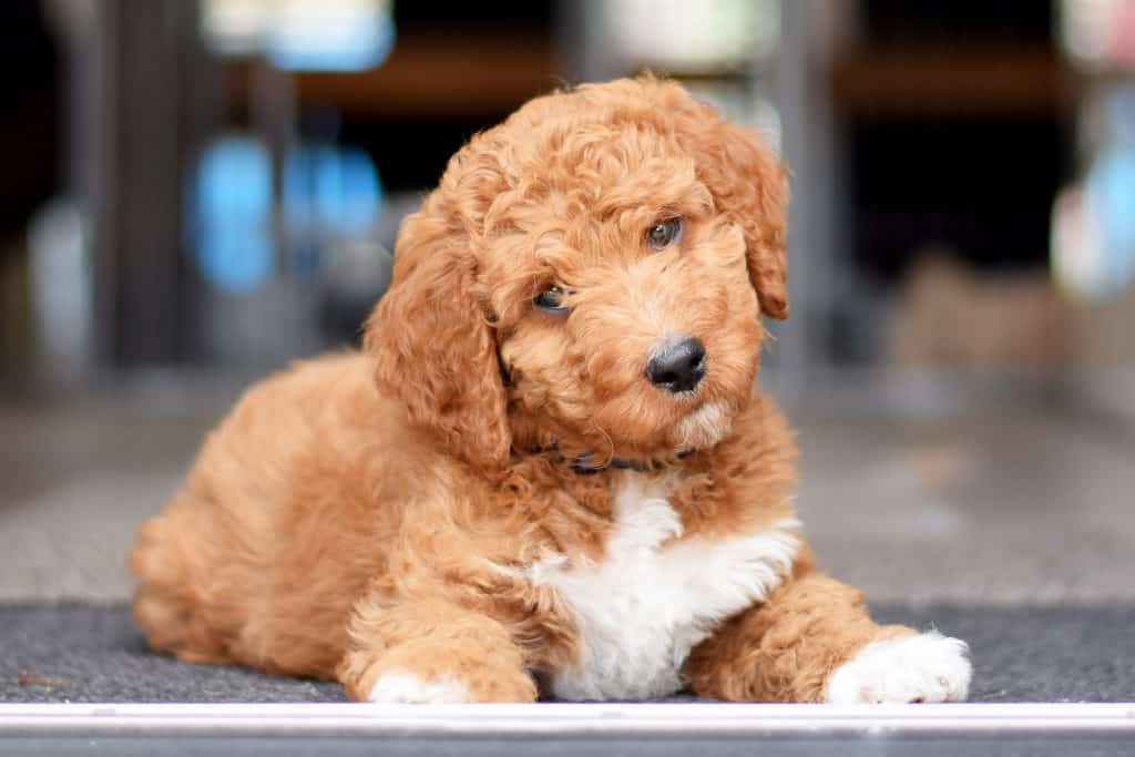 Irish Doodle Puppies For Sale Adopt Your Puppy Today