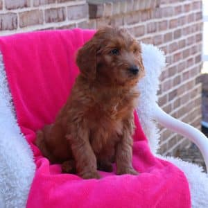 Goldendoodle Puppies For Sale 8