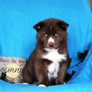 Pomsky Puppies For Sale 1