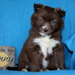 Pomsky Puppies For Sale 2