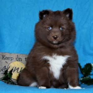 Pomsky Puppies For Sale 3