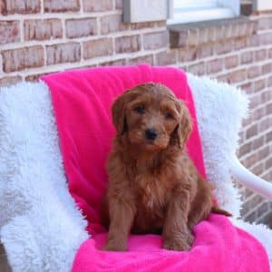 Goldendoodle Puppies For Sale 9