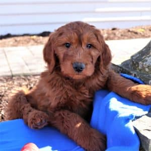 Goldendoodle Puppies For Sale 10