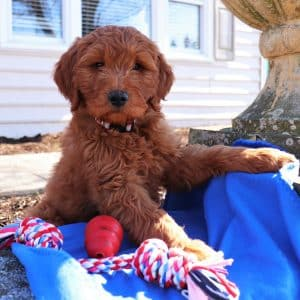 Goldendoodle Puppies For Sale 11