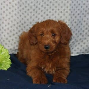 Mini Goldendoodle Puppies For Sale 15