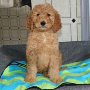 Goldendoodle Puppies For Sale 12
