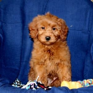 Mini Goldendoodle Puppies For Sale 1