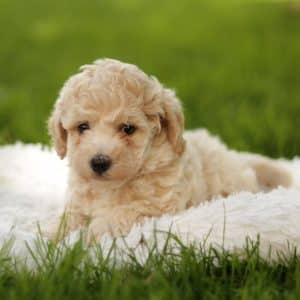 Bichpoo Puppies For Sale 1