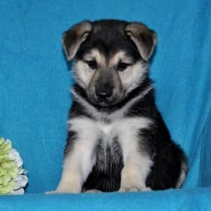 German Shepherd Puppies For Sale 3