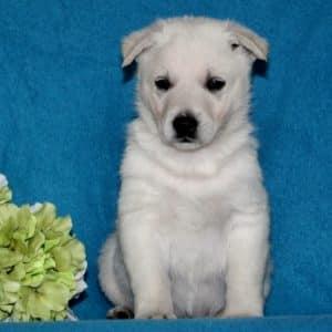 German Shepherd Puppies For Sale 2