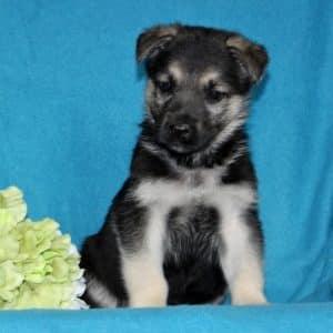 German Shepherd Puppies For Sale 4