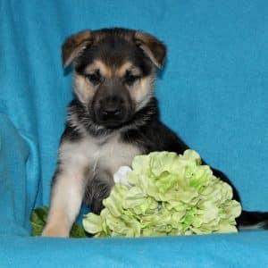 German Shepherd Puppies For Sale 5