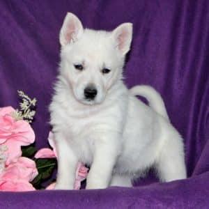 German Shepherd Puppies For Sale 1