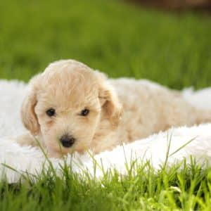 Bichpoo Puppies For Sale 2