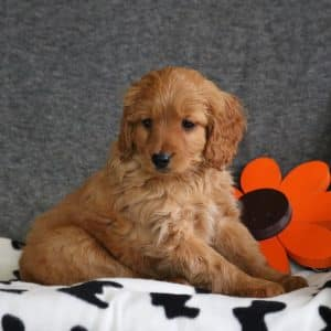 Mini Goldendoodle Puppies For Sale 16