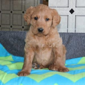 Standard Labradoodle Puppies For Sale 6