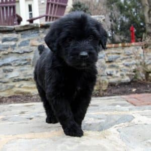 Goldendoodle Puppies For Sale 15