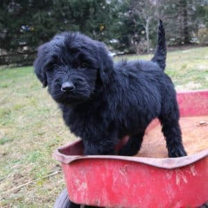 Goldendoodle Puppies For Sale 16