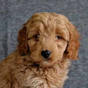 Mini Goldendoodle Puppies For Sale 32