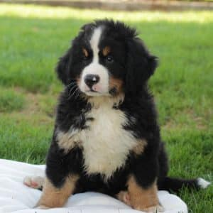 Bernese Mountain Dog Puppies For Sale 1