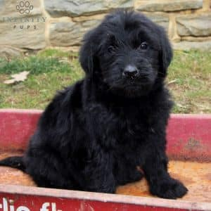 Mini Goldendoodle Puppies For Sale 33
