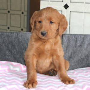 Standard Labradoodle Puppies For Sale 2