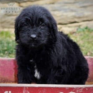 Goldendoodle Puppies For Sale 19