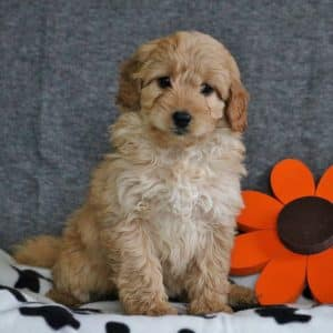 Mini Goldendoodle Puppies For Sale 34