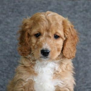 Mini Goldendoodle Puppies For Sale 2