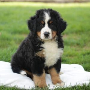 Bernese Mountain Dog Puppies For Sale 2