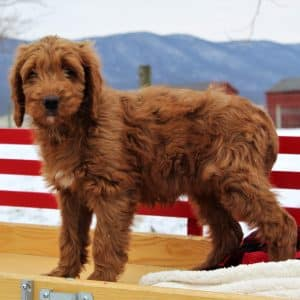 Irish Doodle Puppies For Sale 1