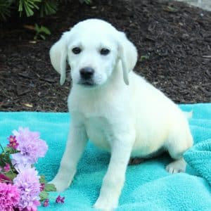 White Labrador Puppies For Sale 2