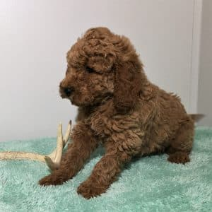 Mini Labradoodle Puppies For Sale 6