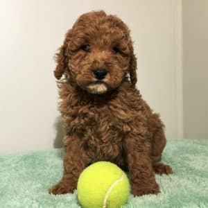 Mini Labradoodle Puppies For Sale 3