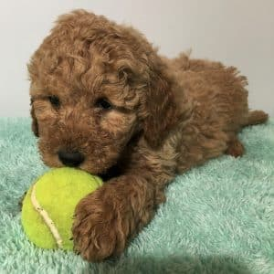 Mini Labradoodle Puppies For Sale 1