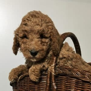Mini Labradoodle Puppies For Sale 2