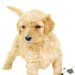 Goldendoodle - Mini