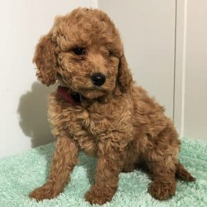 Mini Labradoodle Puppies For Sale 4