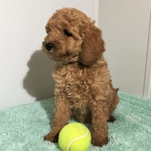 Mini Labradoodle Puppies For Sale 5