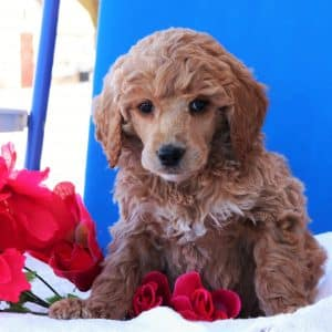 Standard Poodle Puppies For Sale 2
